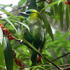 ...endemics like this Golden-naped Barbet... (Photo by guide Rose Ann Rowlett)