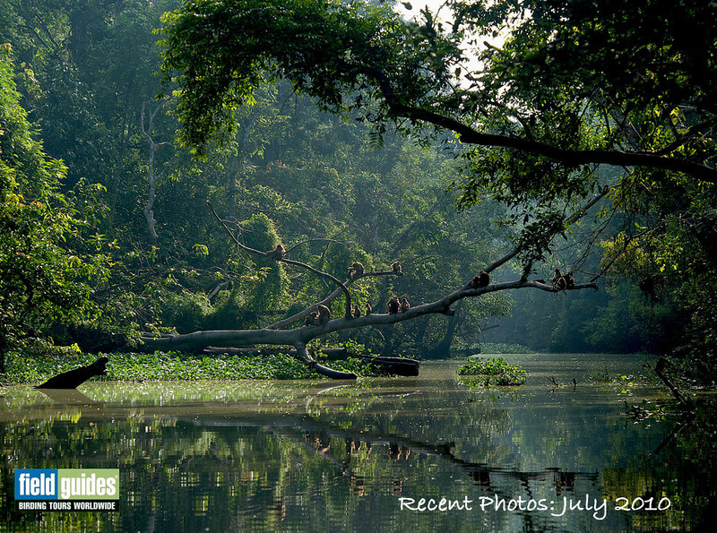 The Menanggul River, a tributary of the Kinabatangan, with Pig-tailed Macaques lounging above the water. Hmmm...where are we, you ask?  (Photo by participant Johnny Powell)