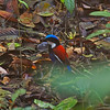 ...that first fluffball transformed, awake and in daylight, into this fantastic creature: a Blue-headed Pitta at Borneo Rainforest Lodge. Wow! (Photo by participant Johnny Powell)