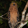 A night cruise along the river at Sukau produced a striking Buffy Fish-Owl... (Photo by participant Johnny Powell)