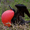 Don't have colorful feet? This'll work too. In the show-off category, a male Great Frigatebird. (Photo by participant Linda Rudolph)
