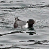 Not a gimme on St. Paul and locally downright rare compared to the other alcids, Ancient Murrelet is a lovely prize on any Alaska tour. (Photo by participant Bob Polkinghorn)