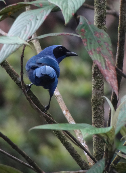 This tour covers an interesting mix of elevational zones and their habitats, from the lower foothills of the Andes to about 8000 feet. And, of course, there are some lovely birds along the way, this White-collared Jay among them. (Photo by guide Dan Lane)