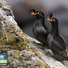 We begin this month's photos in Alaska with this lovely image of Crested Auklets from participant Kevin Watson. This is but one species among the rich diversity of seabirds our groups see on St. Paul in the Pribilof Islands.