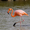 Also flashy, and perhaps not what you're expecting to find on these islands far out in the Pacific, American Flamingo. (Photo by participant Linda Rudolph)
