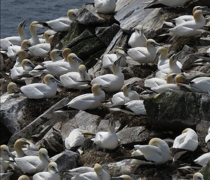 The gannets are crowded in, just out of bill's reach of each other...most of the time. (Photo by participant Christine Stevens)