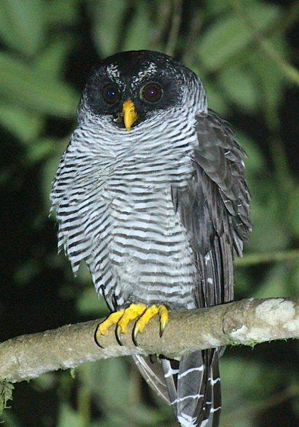 Larry also captured this great portrait of a Black-and-white Owl at Sachatamia...it was a great look!