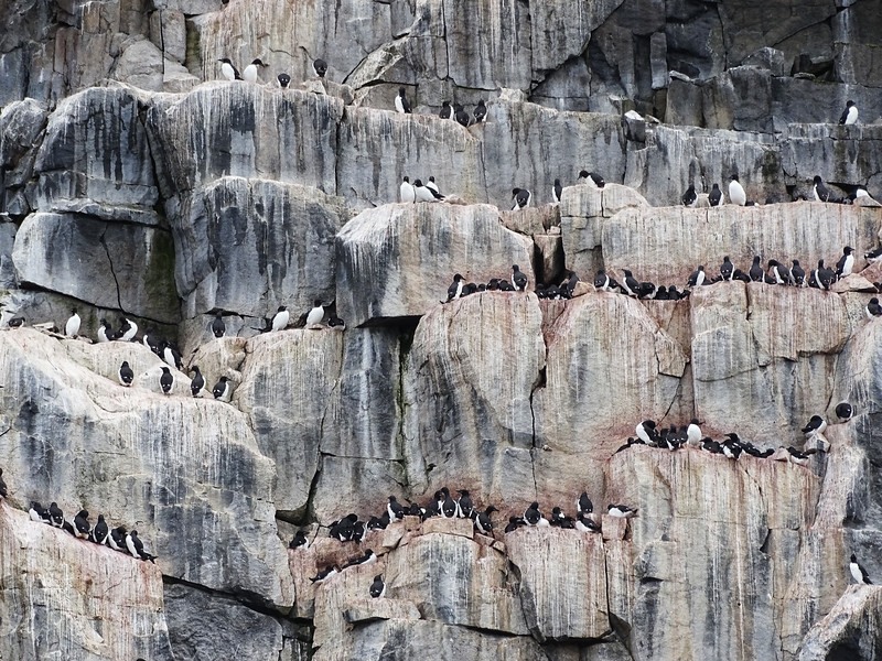 Thick-billed Murres crowd the nesting cliffs, with every available bit of flat ledge occupied by the thousands of birds present. (Photo by participant Joyce Takamine)