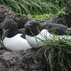These Razorbills made for a fine portrait by guide Chris Benesh after a little precipitation.