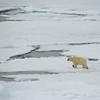 Polar Bear on the pack ice (Photo by participant Alan Abel)