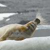 It's easy to wonder why something is called Bearded Seal...until you see it like this! (Photo by participant Jan Shaw)