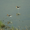 American Avocets at Freezout Lake (Photo by participant Paul Demkovich)