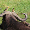Yellow-billed Oxpeckers hitch a ride (and find some food) on an African Buffalo. (Photo by guide Jesse Fagan)