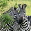Burchell's Zebras (Photo by participant Rachel Hopper)