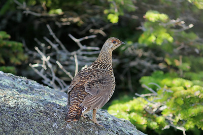 A very cooperative female Spruce Grouse was another great boreal specialty -- this one gave us great views right after our successful search for Bicknell's Thrush atop Mt Washington. (Photo by guide Eric Hynes)