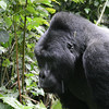 We split into two groups for our Mountain Gorilla treks and, as luck would have it one was quite a bit more energetic than the other! But both had terrific encounters with groups, and each included seeing a huge male silverback. Here's one... (Photo by participant Rachel Hopper)