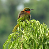 Red-throated Bee-eater near the Paraa Ferry in Murchison Falls National Park (Photo by participant Barbara Williams)