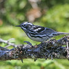 The Maritimes feature a diverse array of nesting wood-warblers. Here, a Black-and-white Warbler. (Photo by guide Chris Benesh)