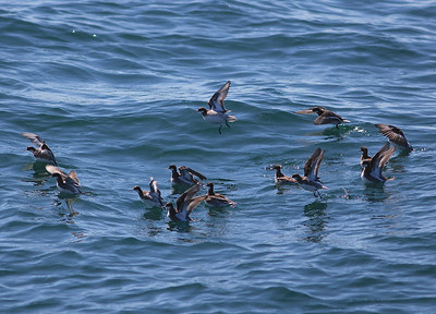 Red-necked Phalaropes on the pelagic trip to Petit Manan Island (Photo by guide Eric Hynes)