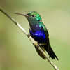 Violet-bellied Hummingbird was one of 38 species of hummers on the tour. (Photo by guide Mitch Lysinger)