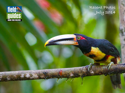 """Pale-mandibled"" is an apt name for this subspecies of Collared Aracari -- and it may some day officially be split. Participant Michael Turisk captured this lovely image on our inaugural ""Northern Ecuador: Cloudforests, Andes & Otavalo Market"" tour guided by Willy Perez."