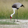Wattle Crane (Photo by participant Saint Seifert)