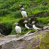 Atlantic Puffins on the island slopes in Witless Bay, where they burrow in amongst the tussock grass. (Photo by guide Chris Benesh)