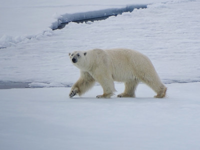 And to close out our Spitsbergen visit, we can't resist one more (glorious) image of a Polar Bear on the pack ice! (Photo by participant Joyce Takamine)