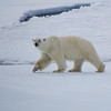 Polar Bear on the pack ice (Photo by participant Joyce Takamine)