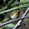 ...to a confiding Ochre-breasted Antpitta, also by Larry.