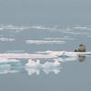 Another classic Arctic highlight: Walrus on an ice floe in Hinlopen Strait (Photo by participant Alan Abel)