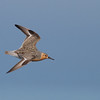 Tom captured this great shot of a single Red Knot.