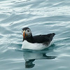 Atlantic Puffin (Photo by participant Joyce Takamine)