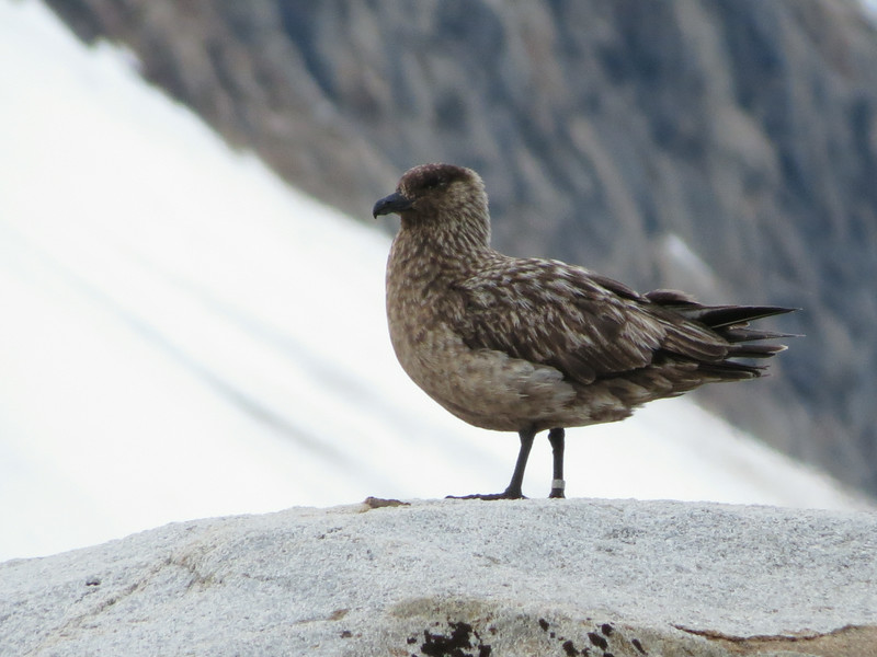 Great Skua is always high on the want list, and it was an exciting find for everyone this year. (Photo by participant Jan Shaw)