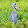 Shoebill (Photo by participant Rachel Hopper)