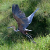 Goliath Heron (Photo by participant Rachel Hopper)