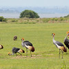 Gray Crowned-Cranes and Warthogs (Photo by guide Jesse Fagan)