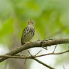 We think of Ovenbirds as walking around on the ground, but territorial birds like to sing from up in the branches. (Photo by guide Tom Johnson)