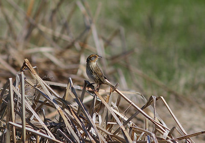 Saltmarsh Sparrow was one of our targets at Scarborough Marsh, where Nelson's Sparrow also occurs for good comparison. (Photo by guide Eric Hynes)