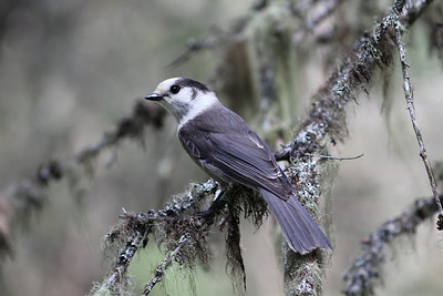 Gray Jay was one of the several boreal forest specialties we sought and found. (Photo by guide Eric Hynes)