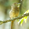 Barred Puffbird (Photo by guide Mitch Lysinger)
