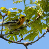 An incomparable Blackburnian Warbler male really lights up a tree. (Photo by guide Tom Johnson)