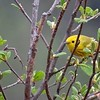 There is always a great diversity of warblers to be seen on the tour, including this Yellow... (Photo by participant Jonathan Fry)