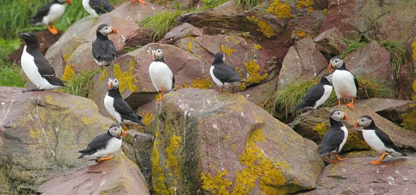 Before we get back to Alaska, let's first detour to the other side of the continent, on our Newfoundland & Nova Scotia tour guided by Chris Benesh. It's hard to resist those iconic Atlantic Puffins (and handsome Razorbill) in this image by participant Doug Clarke.