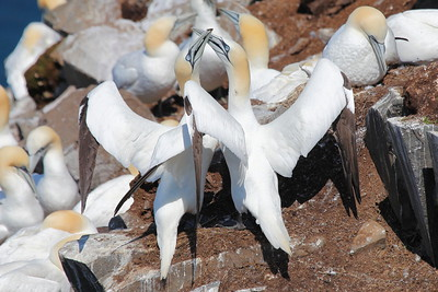 """Northern Gannets crowd the """"stacks"""" at the famous colony at Newfoundland's Cape St Mary's. (Photo by participant Doug Clarke)"""