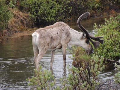 A male Caribou nibbling willows in the middle of one of the streams in Denali NP gave us a great opportunity for study. (Photo by guide Megan Edwards Crewe)