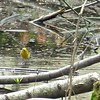 ...and the water-loving Prothonotary. (Photo by participant Jonathan Fry)