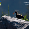 Spring and summer are our busiest seasons for North American tours, so we'll highlight various of these in this month's gallery, along with images from our recent Borneo, Kenya, and Galapagos tours. Here's a Black Oystercatcher from one of our Alaska tours to get things rolling. (Photo by participant Linda Rudolph)