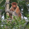 Proboscis Monkey is found nowhere else on Earth but in lowland Borneo. This adult female with an infant was one of the first sights that we encountered while staying at Sukau Rainforest Lodge. (Photo by guide Dave Stejskal)
