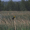 The Northern Arizona tours also visited some marshlands, where Yellow-headed Blackbird was a highlight. (Photo by participant Bill Gruenbaum)
